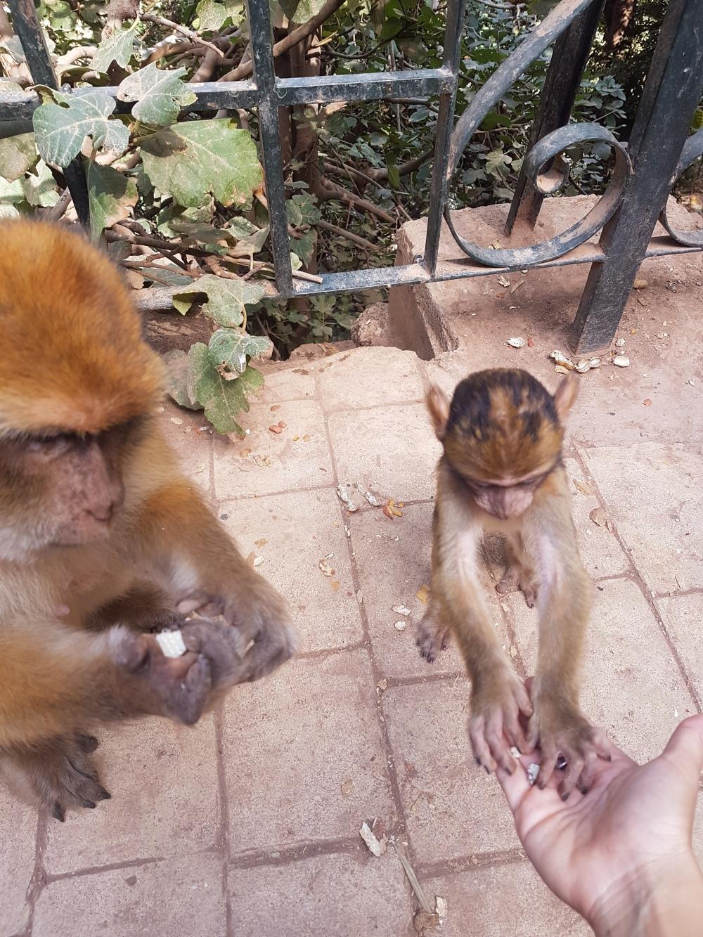 scimmie-Ouzoud
